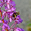 Fireweed Bee by Cathy Mahnke