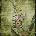 Fireweed - Featured In 'comfortable Art' Group by Ericamaxine Price