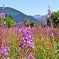Fireweed Field by Cathy Mahnke