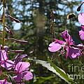 Fireweed Number 10  by Brian Boyle