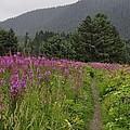 Fireweed Path At Fish Creek by Cathy Mahnke