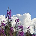 Fireweed Sky by Cathy Mahnke