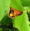 Firey Skipper Butterfly by Joshua Bales