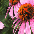 First Cone Flower by Cheryl Hardt Art