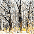 First Snow. Tree Brothers by Jenny Rainbow