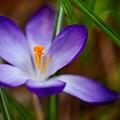 First Spring Crocus by Venetta Archer