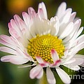 First Spring Daisy by Tyra  OBryant