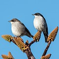 Fiscal Flycatcher Pair by Peter Chadwick/science Photo Library