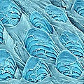 Fish Scales, Sem by Science Photo Library