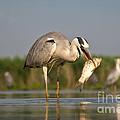 Fishing Grey Heron by Eszter Kovacs