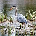 Fishing Heron  by Thomas Phillips