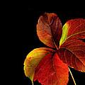 Five Leaves by Marwan Khoury