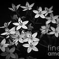Five Petals by Edgar Laureano