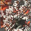 Five Petals - Spring Blossoms by Miriam Danar