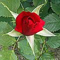 Five Star Red Rose by Kenny Bosak