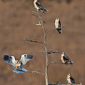 Five White-tailed Kite Siblings by Anthony Mercieca