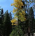 Flagstaff Aspens 786 by Mary Dove