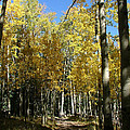 Flagstaff Aspens 802 by Mary Dove