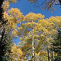 Flagstaff Aspens 803 by Mary Dove