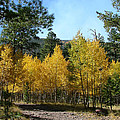 Flagstaff Aspens 804 by Mary Dove