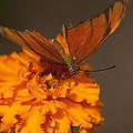 Flambeau Butterfly by Gillian Dernie