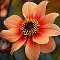 Flamboyant Dahlia. by Terence Davis