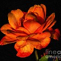 Flamboyant Flame by RC DeWinter