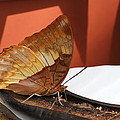 Flame-bordered Charaxes Butterfly #2 by Judy Whitton