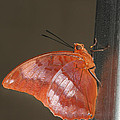 Flame-bordered Charaxes Butterfly #3 by Judy Whitton