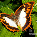 Flame Bordered Charaxes Butterfly by Millard H. Sharp