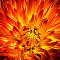 Flaming Dahlia - Paintography by Dawn M Smith