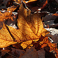 Flaming Leaves by Doris Potter
