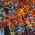 Flaming Maple Beneath The Pines by Kathleen Bishop