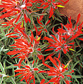 Flaming Zion Paintbrush Wildflowers by Dave Welling