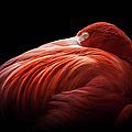 Flamingo by © Justin Lo