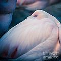 Flamingo 1b - Square by Hannes Cmarits