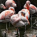 Flamingo 5 by Chuck Kuhn