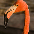 Flamingo by Adam Romanowicz