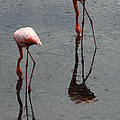 Flamingo Ballet by John  Nickerson