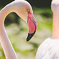 Flamingo Bird Portrait. by Pati Photography
