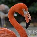 Flamingo by Carol  Bradley