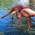 Flamingo Duo by Joseph Marquis