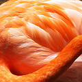 Flamingo Feathers by Beth Vincent
