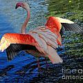 Flamingo Flight by Constance Woods