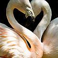Flamingo Heart by Gaurav Singh