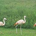 Flamingo March by Sonali Gangane