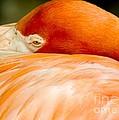 Flamingo Napping by Sabrina L Ryan