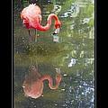 Flamingo Reflected by Alice Gipson