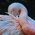 Flamingo by Steve McKinzie