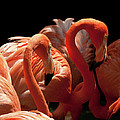 Flamingoes by Rick Piper Photography